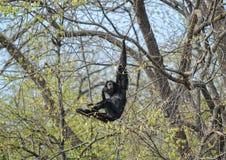 małpi chlanie zdjęcia stock