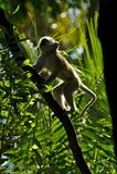 Małpi Chlorocebus pygerythrus w lesie Wiktoria Spada zdjęcie stock