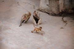 Małpi cyzelatorstwo jej lisiątko, prymas zdjęcia royalty free
