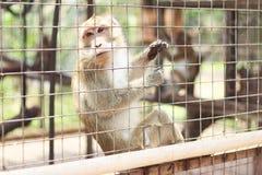 Małpi Długi Ogoniasty makak Zdjęcia Royalty Free