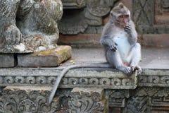 Małpi Długi Ogoniasty makak Fotografia Stock