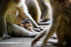 Małpi dziecko w Ubud Bali obrazy stock