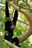 małpi hałaśliwie Fotografia Royalty Free