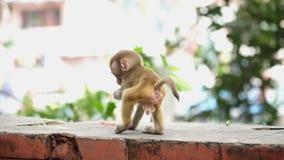 Małpi lisiątko na ściana z cegieł zbiory wideo