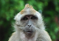 małpi mądry Obrazy Royalty Free