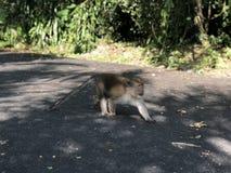 Małpi makak jest na chwytach w jego zębach kukurydzanych na tle dżungla na gorącym dniu i asfalcie zdjęcia royalty free