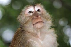 Małpi makak, Railay, Krabi, Tajlandia zdjęcie royalty free