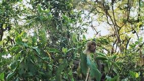 Małpi makaka rhesus obsiadanie na drzewie zbiory wideo