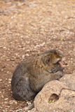 małpi Morocco Obraz Royalty Free