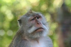 małpi mrugać Fotografia Royalty Free