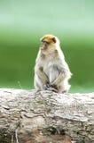 Małpi obłąkanie Fotografia Royalty Free