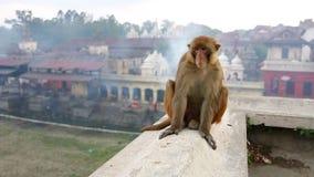 Małpi obsiadanie na ścianie, pashupatinath świątynia, Kathmandu, Nepal zbiory wideo