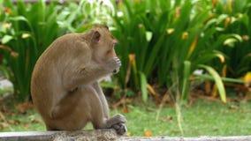 Małpi obsiadanie na zmielonym łasowania jedzeniu przy Khao Kheow Otwartym zoo Tajlandia zdjęcie wideo
