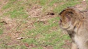 Małpi odprowadzenia zakończenia Up - Barbary makaki Algieria & Maroko zdjęcie wideo