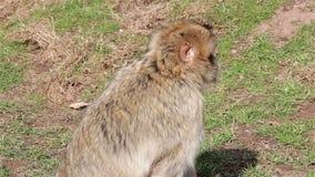 Małpi odprowadzenie i Żuć - Barbary makaki Algieria & Maroko zdjęcie wideo
