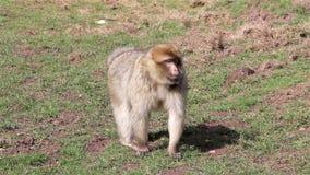 Małpi odprowadzenie W kierunku kamery - Barbary Algieria & Maroko makaki zdjęcie wideo
