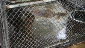 Małpi ogoniasty makak czuje gniewnego odprowadzenie w klatce zdjęcie wideo