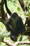małpi pająk Fotografia Royalty Free