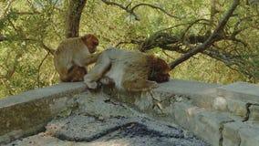 Małpi pary zrywanie w futerku each inny patrzeć dla insektów zdjęcie wideo