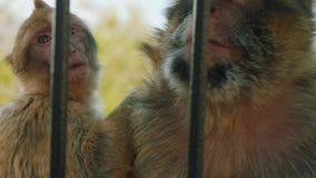 Małpi pary zrywanie w futerku each inny patrzeć dla insektów zbiory wideo