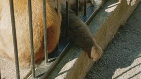 Małpi pary zrywanie w futerku each inny patrzeć dla insektów zbiory