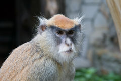 małpi patas obraz royalty free