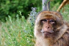 Małpi patrzeć smutny obrazy royalty free