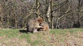 Małpi przygotowywający inny na trawiastym banku - Barbary Algieria & Maroko makaki zbiory wideo