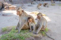 Małpi rodzinny obsiadanie w Phra Rozwala Sam Yot świątynię, antyczna architektura w Lopburi, Tajlandia Fotografia Stock