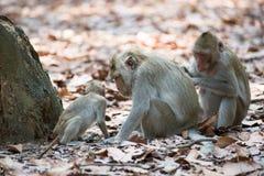 Małpi rodzinny relaksować w Tajlandia Zdjęcie Stock
