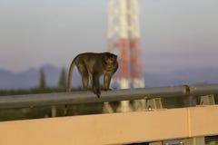 Małpi stojak na mosta poręczu w światło słoneczne ranku Zdjęcia Royalty Free