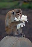 małpi toque fotografia stock