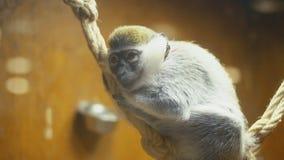 Małpi trakenów żakiety zbiory