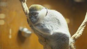 Małpi trakenów żakiety zbiory wideo