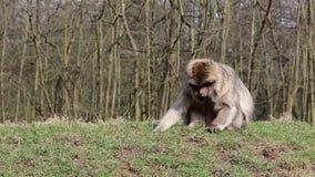 Małpi Żuć na Trawiastym banku - Barbary Algieria & Maroko makaki zbiory wideo