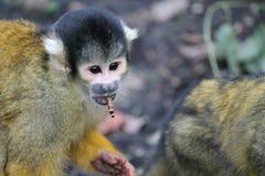 Małpi wiewiórczy czerń nakrywał posiłek dżdżownicy w usta obraz stock