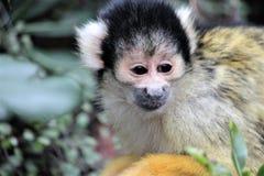 Małpi wiewiórczy czerń nakrywająca twarz Obraz Royalty Free