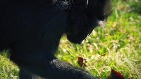 Małpi znalezienia jedzenie Jeść W trawie zbiory