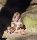 Małpi zoo Afryka ssaka zwierzę Obrazy Stock