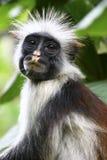 małpia czerwień fotografia royalty free