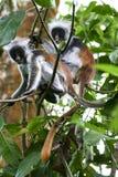 małpia czerwień obrazy royalty free