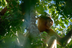 małpia kłujka Obrazy Royalty Free