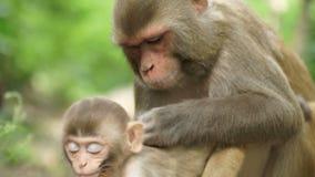 Małpia kobieta z lisiątkiem w dżungli zbiory wideo