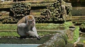 Małpia Lasowa Zwiedzająca Bali Indonezja podróż Slowmotion zbiory