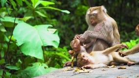 Małpia mama z lisiątkiem w parku narodowym naturalny siedlisko, opieka i ochrona zwierzęta, Małpy jedzą banany zbiory wideo