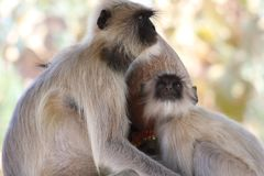 Małpia poza z różnym kierunkiem w jeden ramie fotografia stock