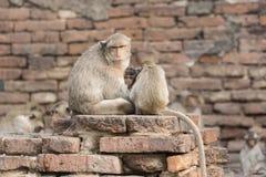 Małpia rodzina żywa w starym mieście zdjęcia stock