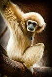 Małpa - gibon Obraz Royalty Free