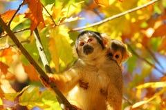 małpia wiewiórka Obraz Royalty Free