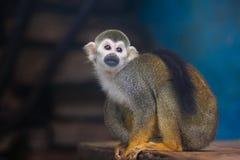 małpia wiewiórka Zdjęcie Stock